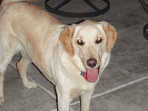 Missing Dogs     Yellow Lab  amp  Brown  amp  White Shepherd Mix  Alpine Ca    Yellow Lab White Shepherd Mix